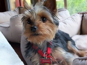 FRANKLIN in ILLINOIS is an adoptable Yorkshire Terrier Yorkie Dog in Carol Stream, IL. Hi everyone. This is Franklin. He weighs about 4 pounds, and the vet thinks he is about 10 months old. He is ...