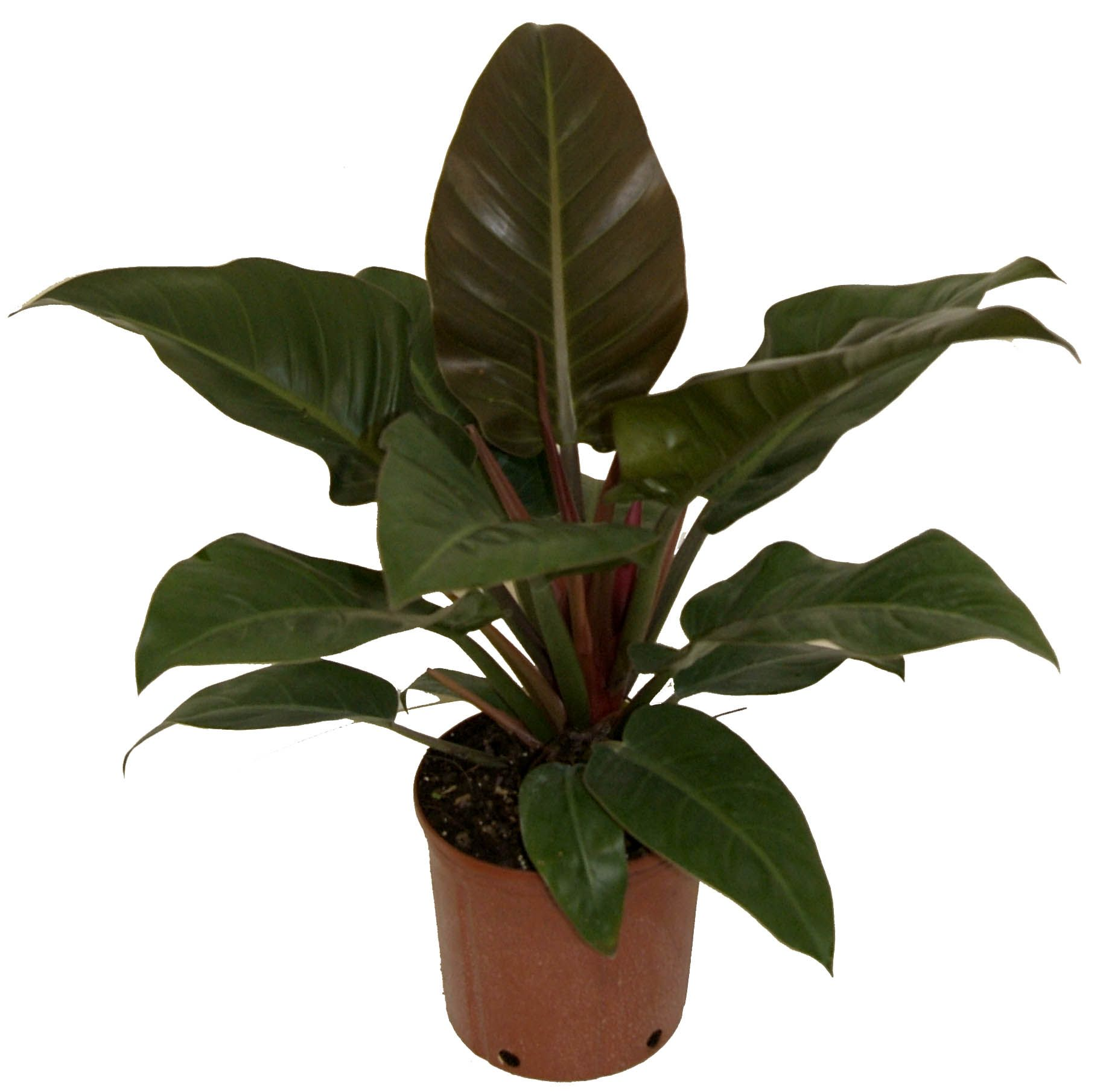 Philodendron scandens oxycardium [Heartleaf Philodendron