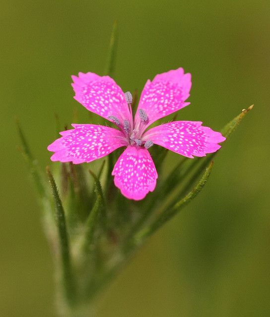 ~~Maiden Pink ~ dianthus deltoides by DrPhotoMoto~~