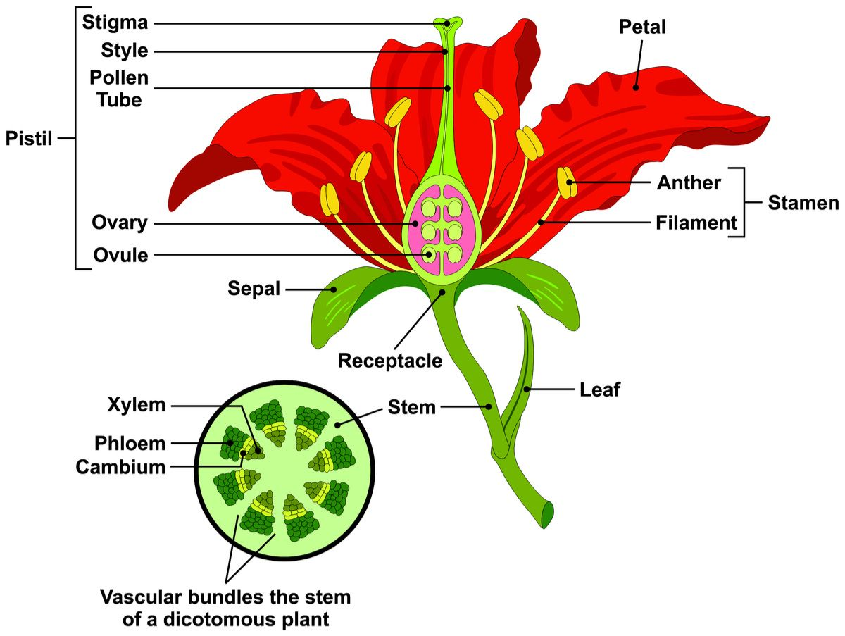 Have You Ever Wondered What Makes A Flower A Flower Did You Know That The Flower Is Actually Made Up Of F Parts Of A Flower Flower Structure Types Of Flowers