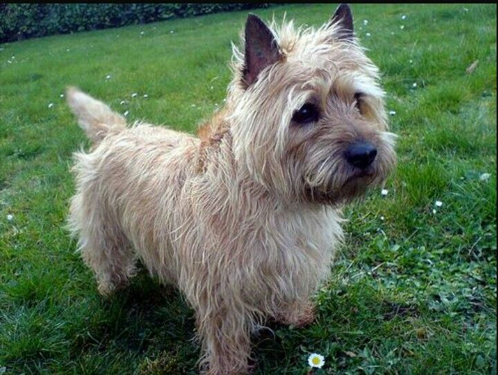 Wheaten Red Cairn Terrier Cairn Terrier Terrier Terrier Puppies