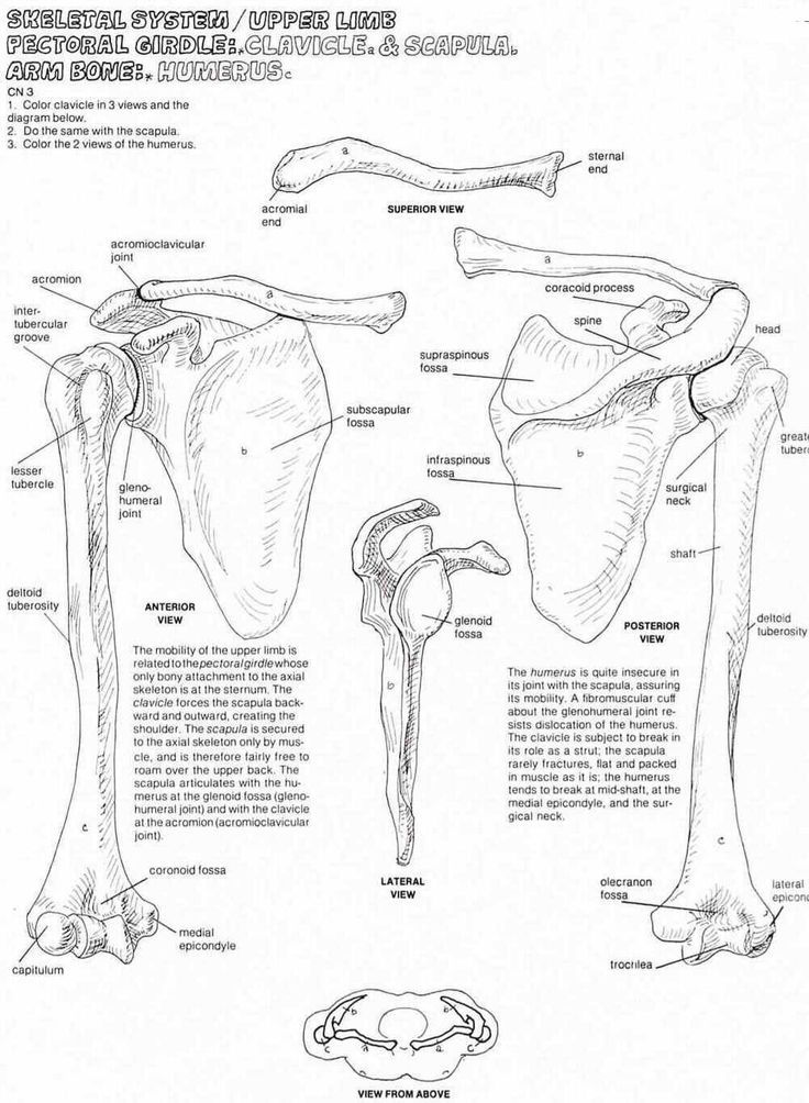 Image result for black and white pectoral girdle | Anatomy | Pinterest