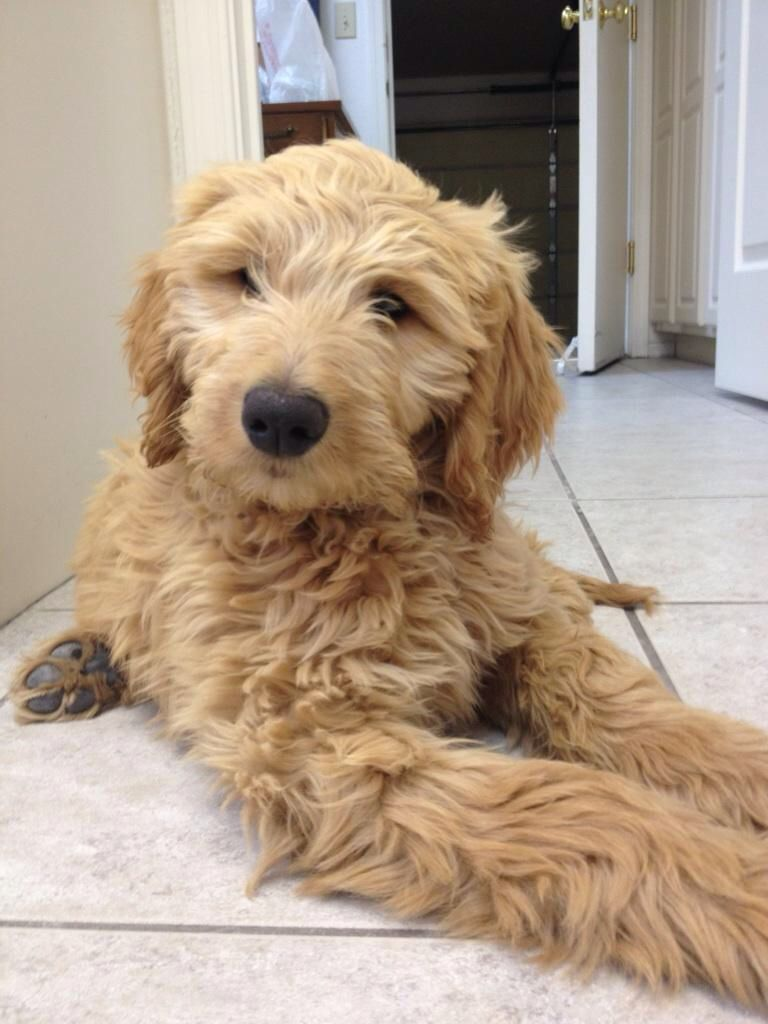 Harlow 12 Week Old Goldendoodle Goldendoodle I Love Dogs