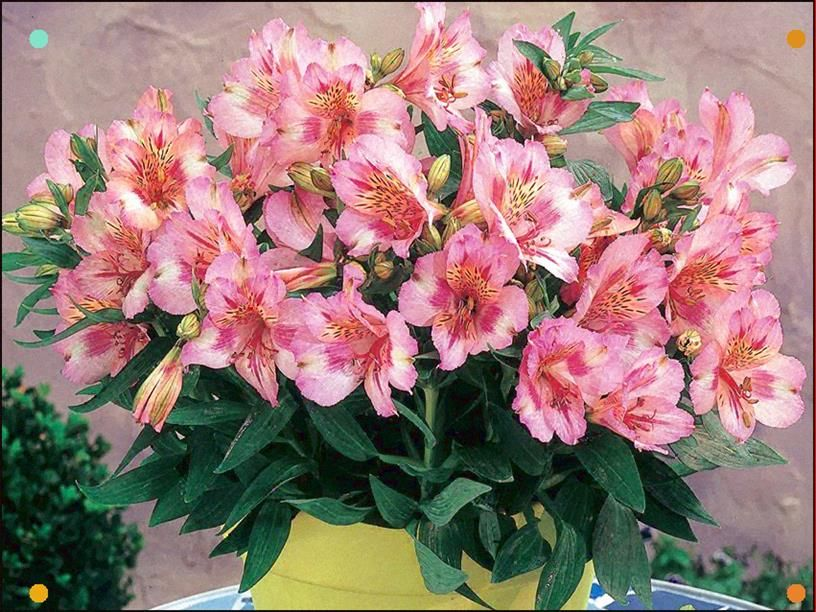 Alstroemeria Princess Lilies Theresa In 2020 Alstroemeria Lilly Plants Plants