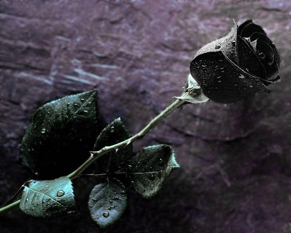 Rosas negras black roses pinterest black roses flowers and plants amazing roses in the world izmirmasajfo