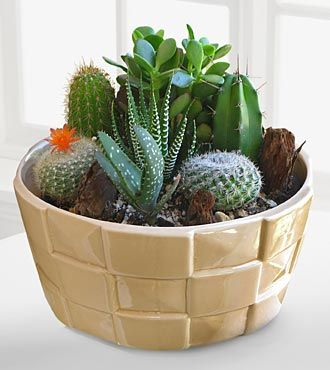 Indoor plant Desert Daydreams Cactus Dish Garden Shown
