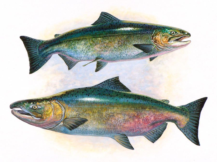 Tule Chinook Salmon By Shari Erickson In 2020 Salmon Drawing