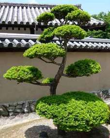 Arbre nuage ou rable du japon avec terrasse composite 54 for Sapin d ornement jardin