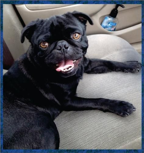 Weekend Rescue Likely Named After The Singer Cash Is A Black Pug