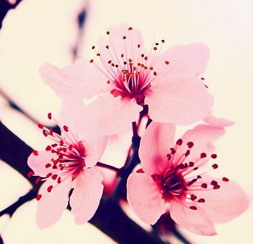 Download zedge™ app to view this premium item. Pink contrast   Kirschblüten, Kirschen und Ume