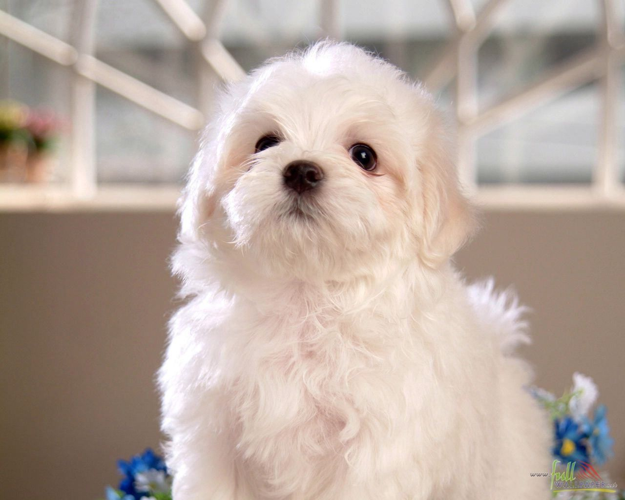 White Baby Dog Maltese Puppy Baby Dogs Puppies