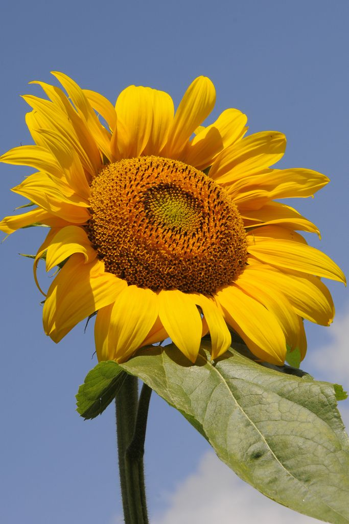 Helianthus Annuus Russian Giant Plants Giant Sunflower Flower Seeds