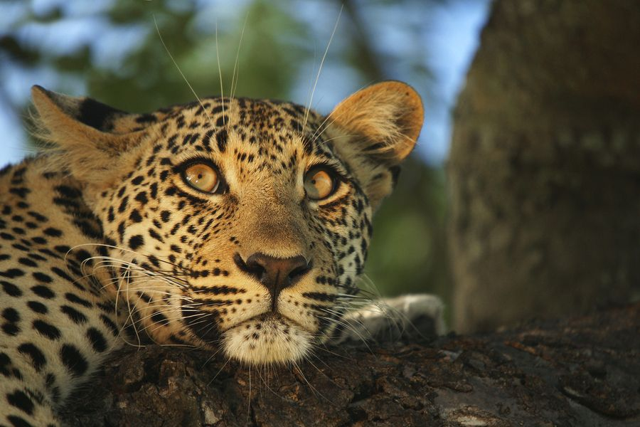 Hello beautiful one!  #leopards
