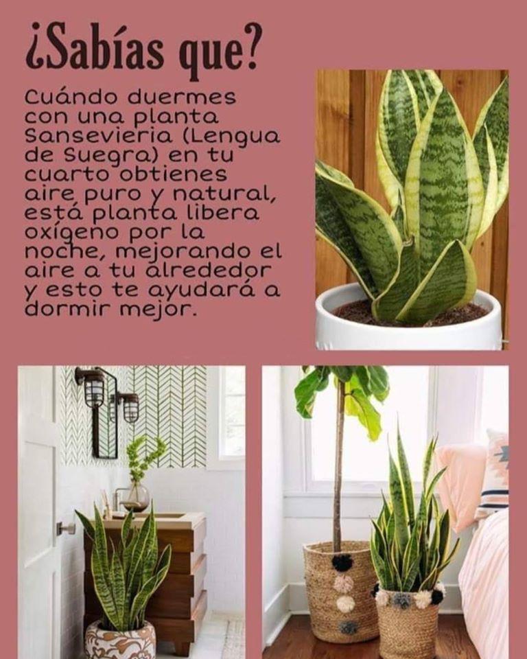 Los Beneficios De La Planta Sansevieria Plantas Plantas De Patio Cultivo De Plantas
