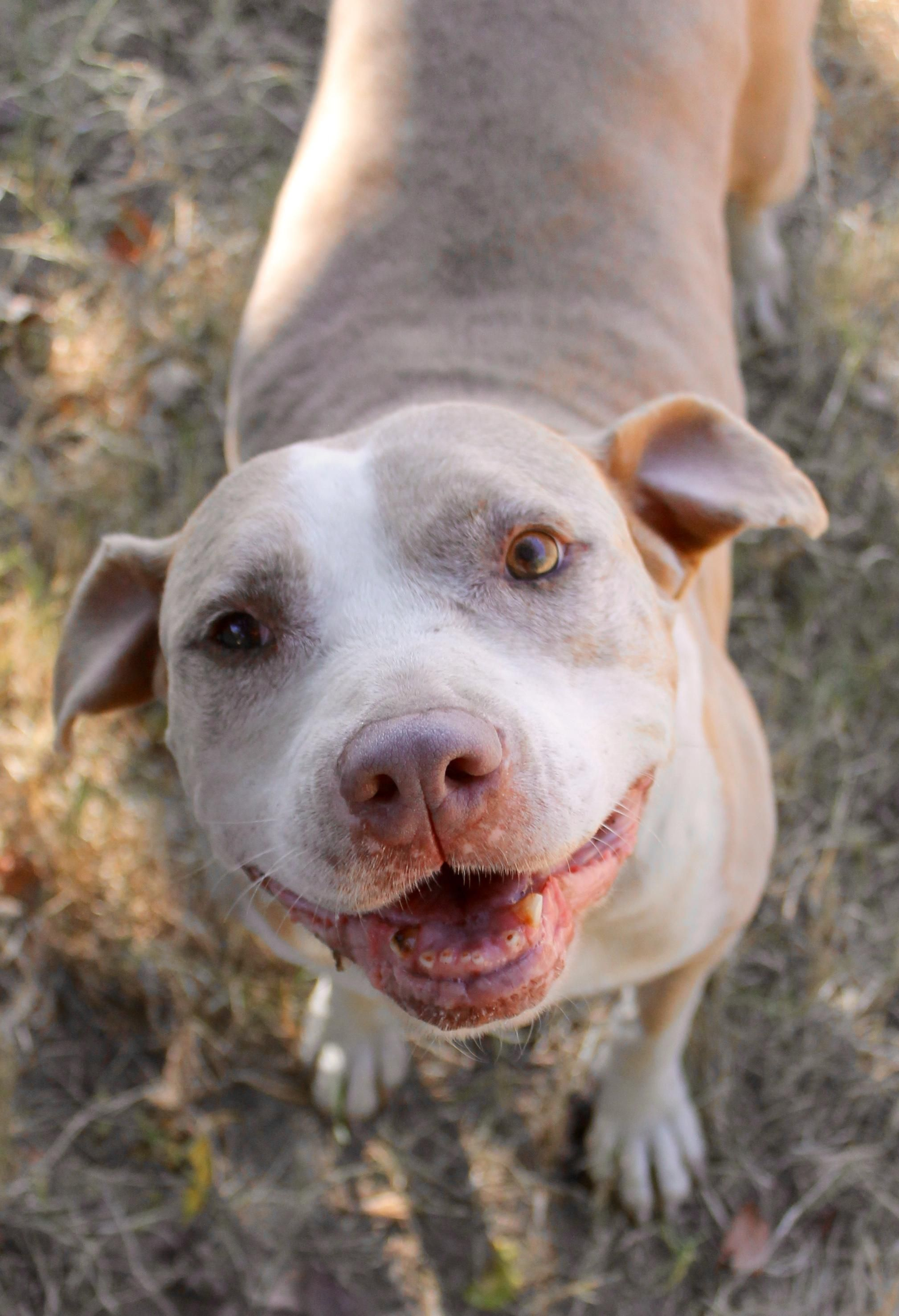 Adopt Hailey On Fluffy Puppies Dogs Pitbull Terrier