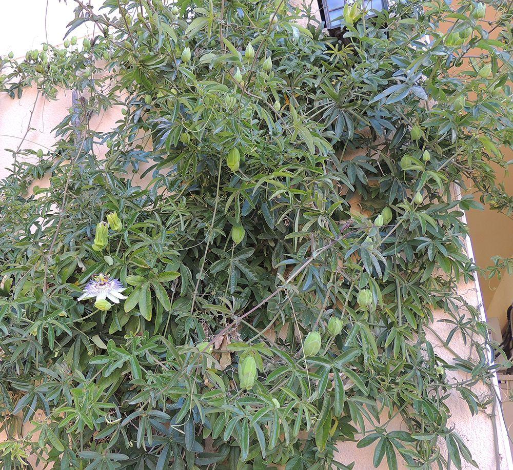 Pin de iris amorena en plantas ornamentales trepadoras for Arboles ornamentales jardin