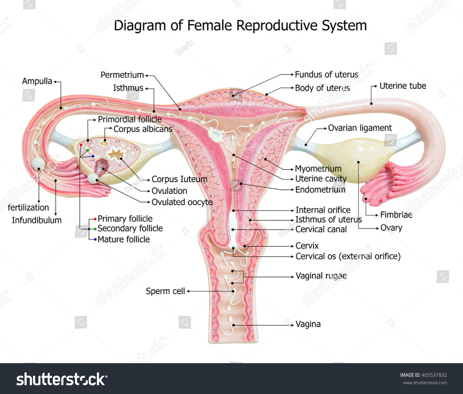 Unlabeled Diagram Of The Female Reproductive System Front View Simple Female Reproductive System Anatomy Female Reproductive System Reproductive System Project
