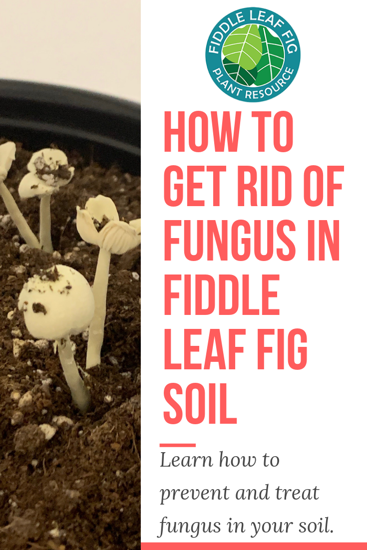 How To Get Rid Of Fungus In Fiddle Leaf Fig Soilhas This Happened To You You Go To Water Your Fiddle And Notice Mushroom Fiddle Leaf Fig Fiddle Leaf Fig Plant