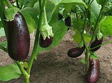 Superb Growing Eggplant | Meals.com