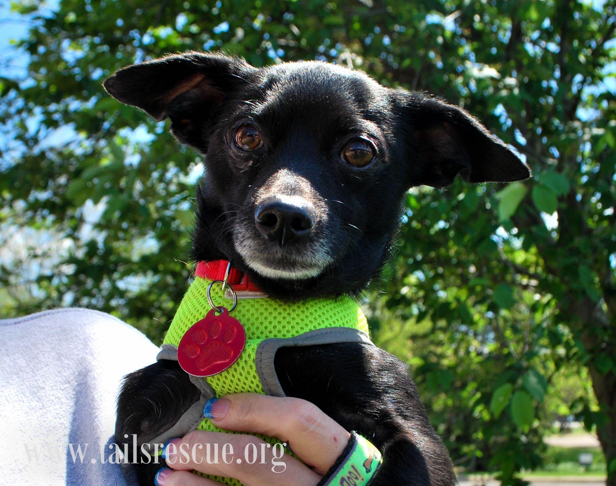 Italian Greyhuahua dog for Adoption in Maple Grove, MN
