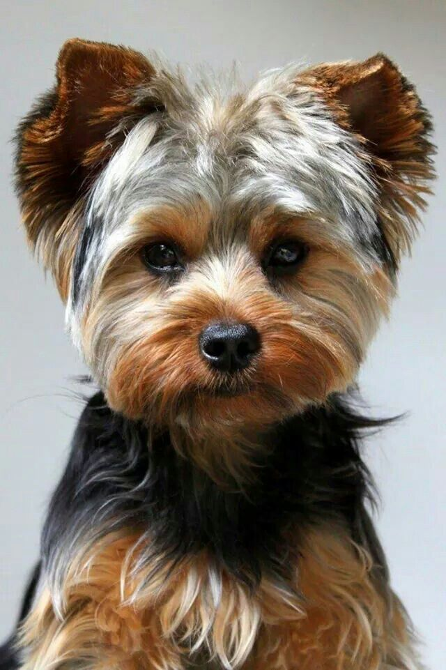le yorkshire terrier est une race de chien de petite taille appartement au groupe des terriers. Black Bedroom Furniture Sets. Home Design Ideas