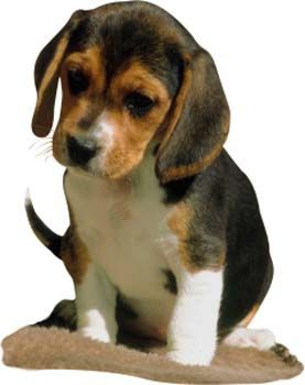 Miniature Beagles For Adoption Beagle Puppy Cute Beagles