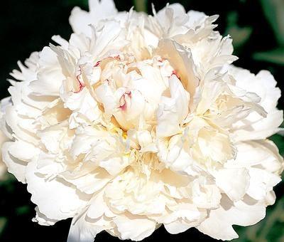 Klehm S Song Sparrow Farm And Nursery Peony Festiva Powder Puff Peonies Flower Garden Flowers