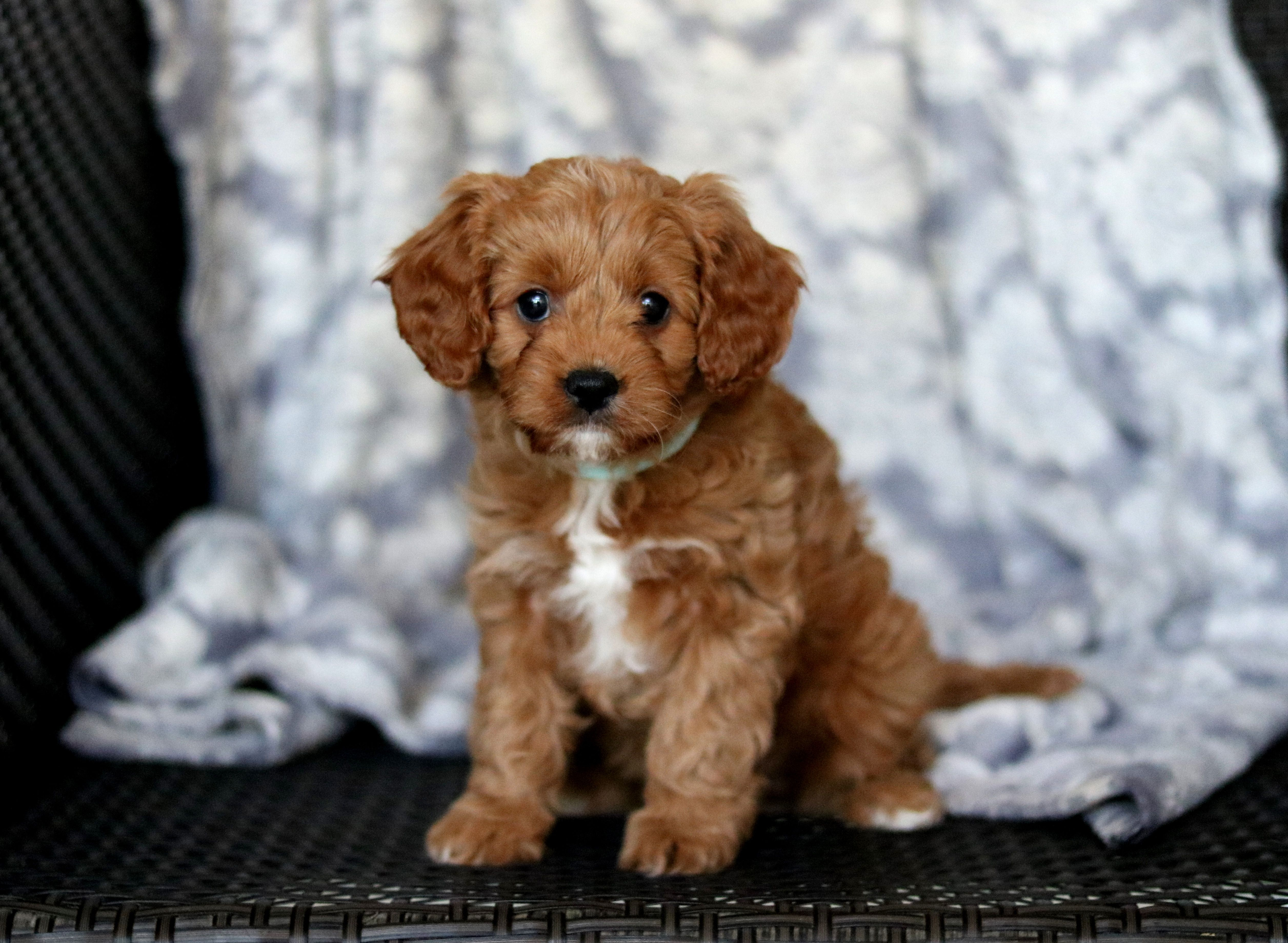 Raffi Is An Adorable Cavapoo Puppy He Is A