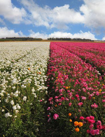 Flower field in Israel. Such beauty~ find only in Israel !!