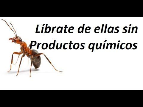 Como eliminar las hormigas del huerto novedosa receta - Como matar las moscas de mi casa ...