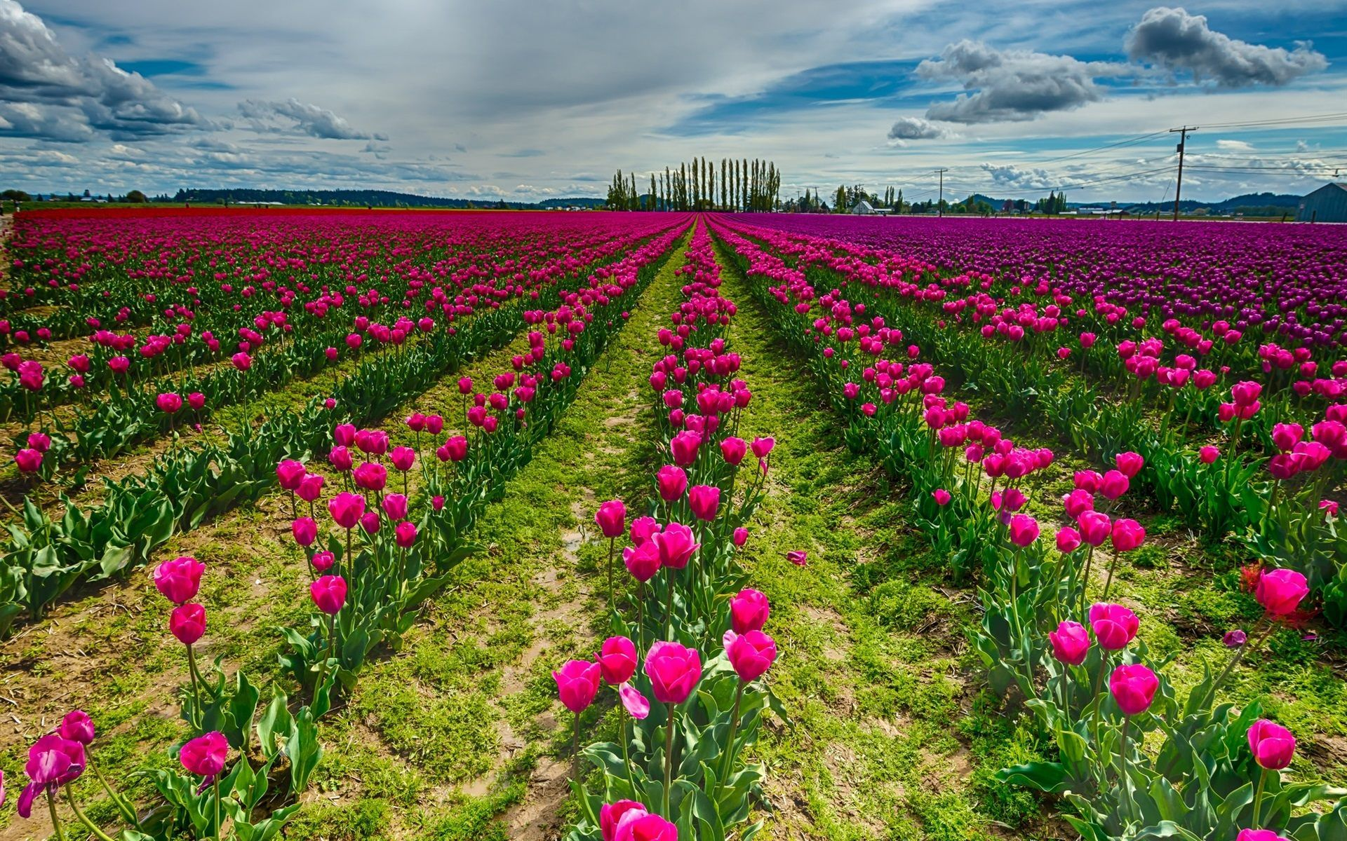 Spring Flowers Tulips Field Sunrise Grass Clouds: Red Tulip Flower Field Wallpaper For Desktop And Mobile In