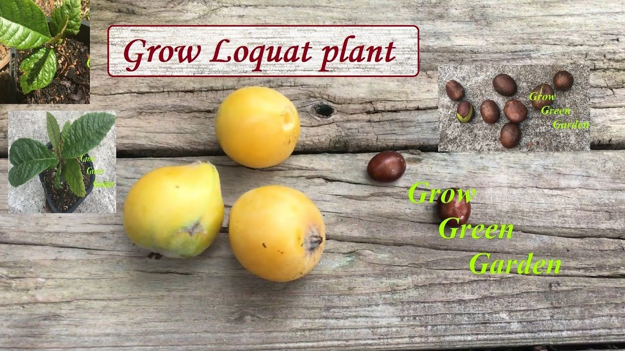 Grow loquat seedling from seed with 200 days updates in