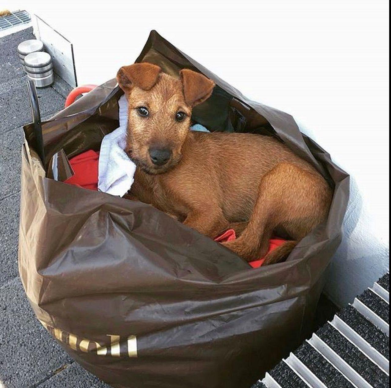 Irish terrier shopping irish terrier lakeland