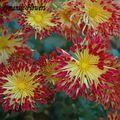 Planta de Semillas de Flores de Crisantemo rojo, 50 Semillas/Bolsa, en maceta Semillas de Flores de Margarita