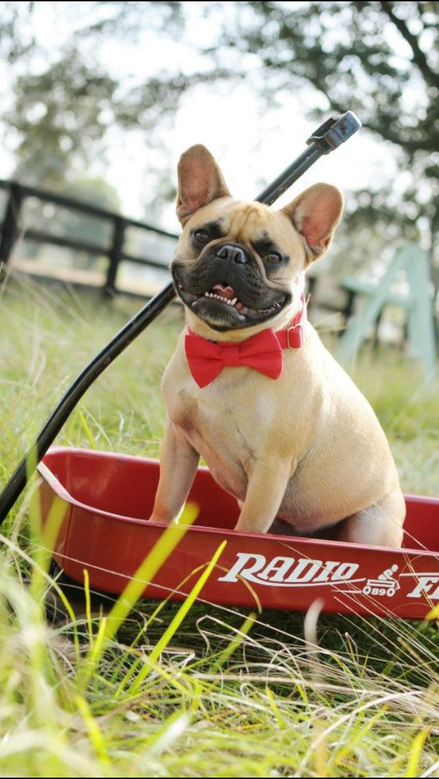 French Bulldog (With images) Frenchie puppy, Animal