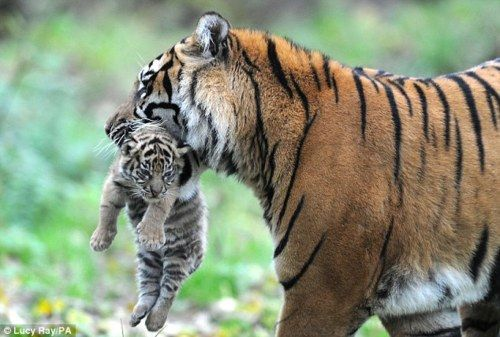 Mom's love tiger style