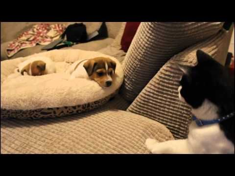 Cat meeting the puppies for the first time. - YouTube