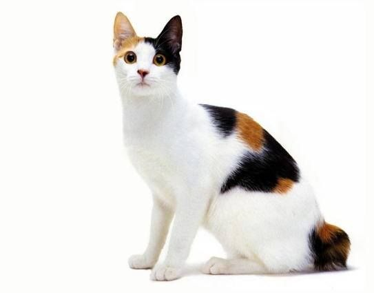 Japanese Bobtail (แมวหางกุดญี่ปุ่น)