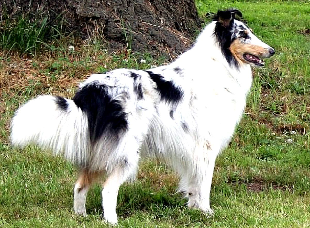 Harlequin Tricolor Rough Collie Animals Household Pets Rough