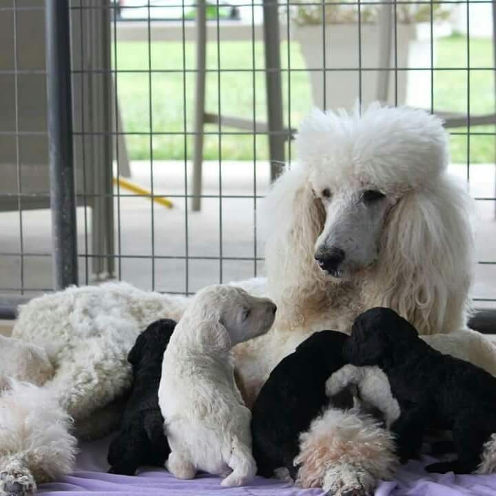 Standard Poodle And Her Puppies Cute Dogs Dog Behavior Poodle