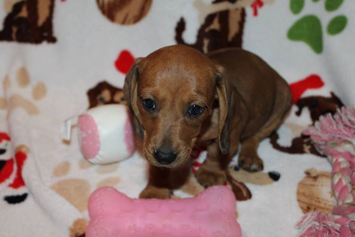 Litter Of 4 Dachshund Puppies For Sale In Cedar Park Tx Adn