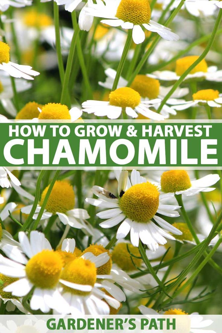How to grow chamomile in your herb flower garden
