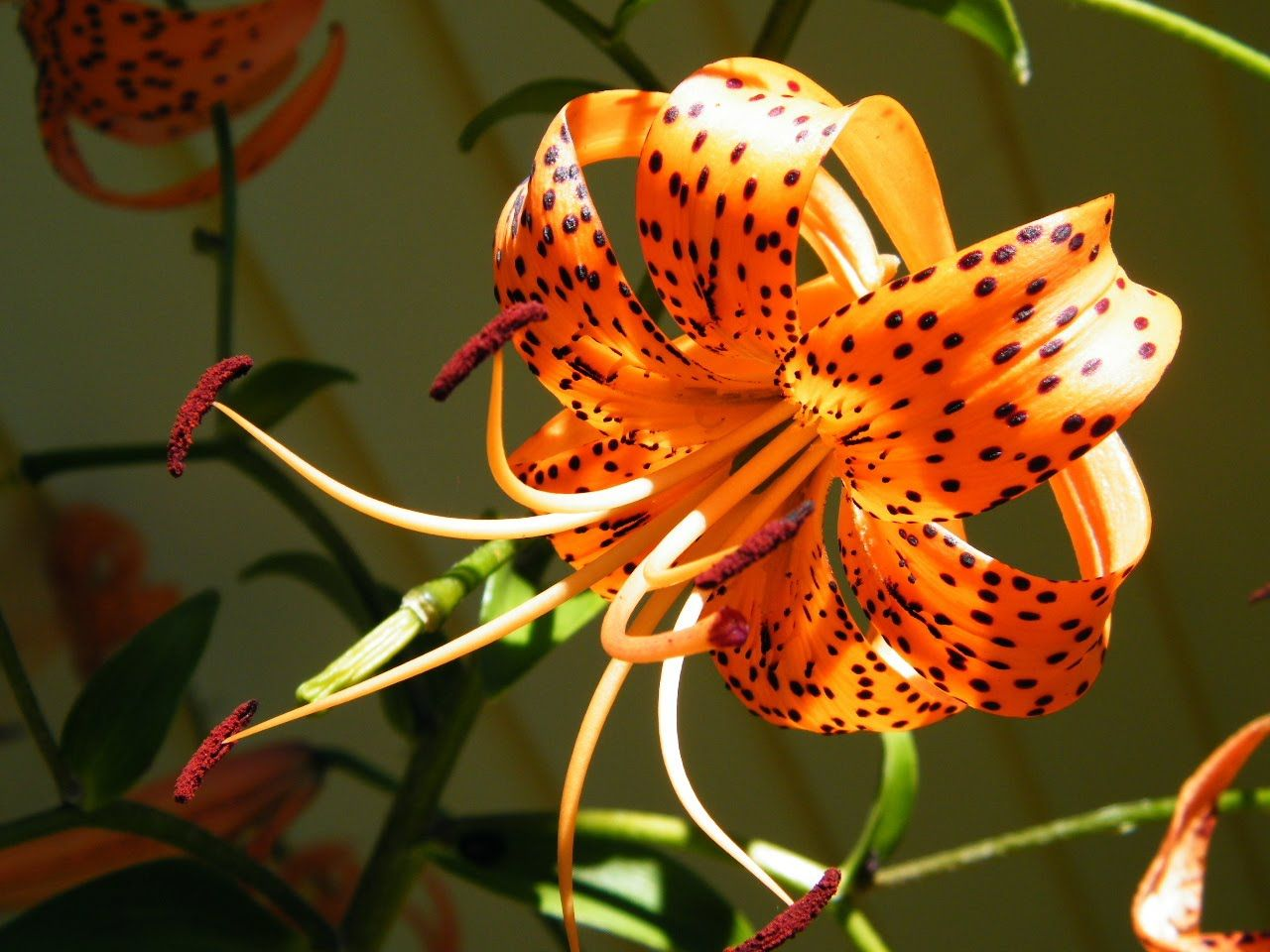 Tiger Lily Peter Pan Pinterest Flowers Flower Pictures And Lily