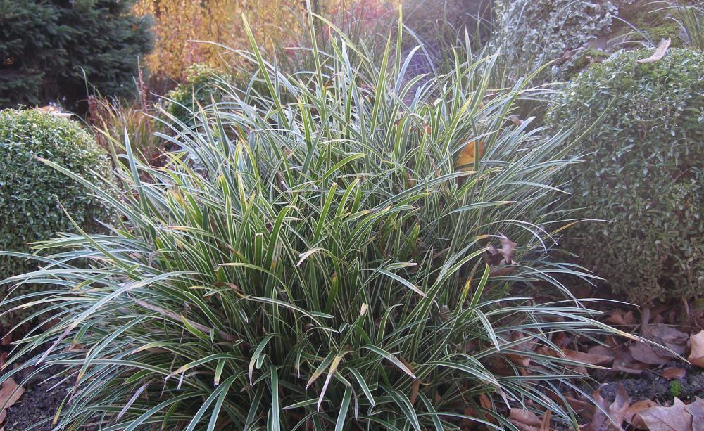 Immergrüne Ziergräser Blattschmuck für den Winter Immergrün - gartenpflanzen winterhart immergrun