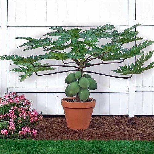 Papaya jardin pinterest legumbres fruta y florales for Diseno de jardines caseros