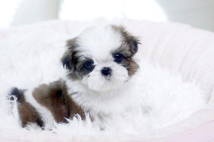 For Sale Adoption Teacup Maltese Puppy Teacup Puppies Maltese Maltese Puppies For Sale Maltese Puppy
