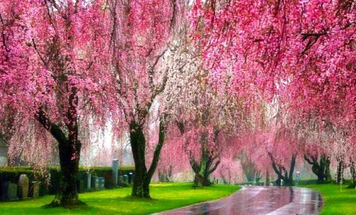 Pin By Satu Holmstrom On Flowers Cherry Blossoms Magnolias Wisteria Spring Cover Photos Blossom Trees Pink Trees
