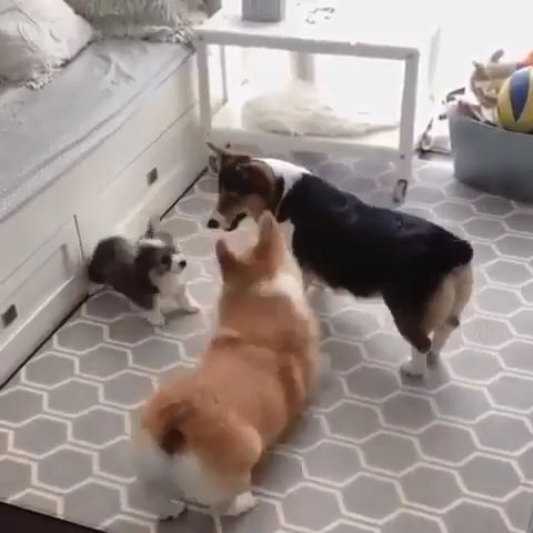 Funny Corgi Dog video|Funny Corgi video|Funny Animals Videos|Funny Pet video| Funny Corgi Puppy Video|Corgi Funny|Dogs Funny Videos|Funny Dog Videos|Funny Pet Videos| Corgi lovers|Corgi community|Corgi lovers|Pembroke welsh corgi| Corgi Pictures| Obsessive Corgi Disorder| #corgicommunity #Funnypetvideos #corgi #corgis #corgilovers #corgicommunity #funnypet #funnycorgi #funnycorgis #dogs #cutedogs #petvideos #funnydogvideo #dogvideos #cutefunnyanimals #funnyanimals #cuteanimals #afflink