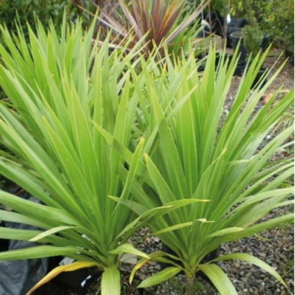 Cordyline Australis Kaspar Plants Front Yard Plants Ti Plant