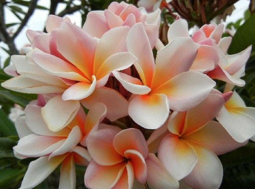 hawaiian lei flower care